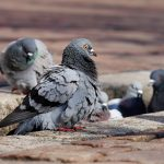 Venetian Sauteéd Pigeon