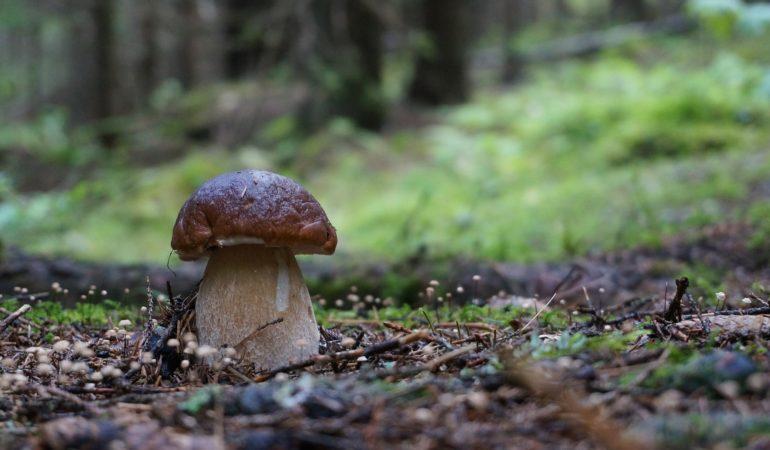 porcini mushroom in the wild